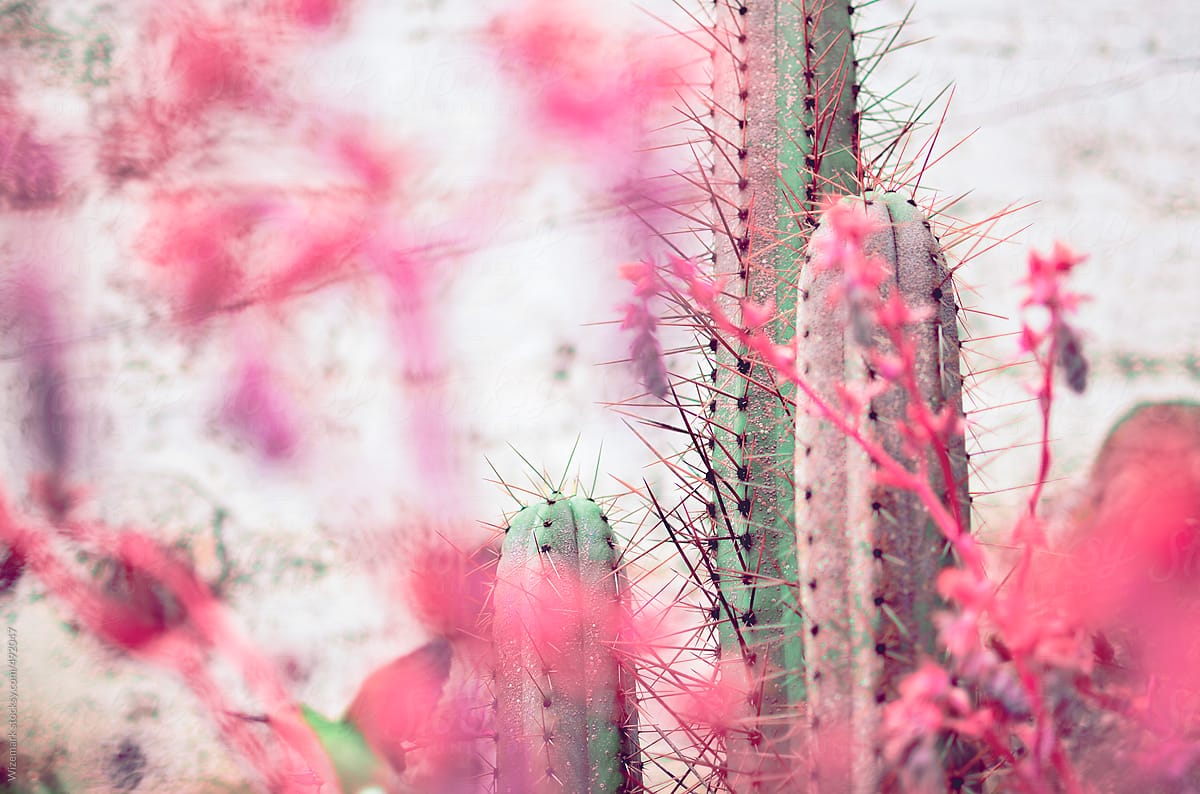 San pedro cactus surrounded by pink flowers and plants stocksy united san pedro cactus surrounded by pink flowers and plants by wizemark for stocksy united mightylinksfo
