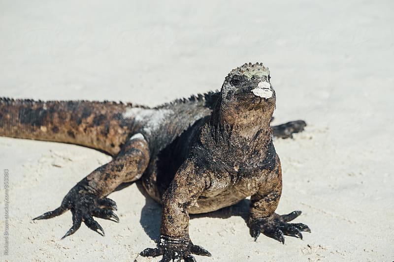 Galapagos Maarine Iguana by Richard Brown for Stocksy United