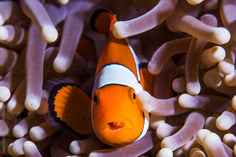 TONGUE-EATING LOUSE parasitizing Striped Anemonefish by Song Heming for Stocksy United