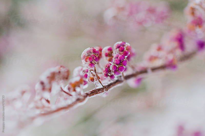Flower buds coated in ice after winter ice storm by Preappy for Stocksy United