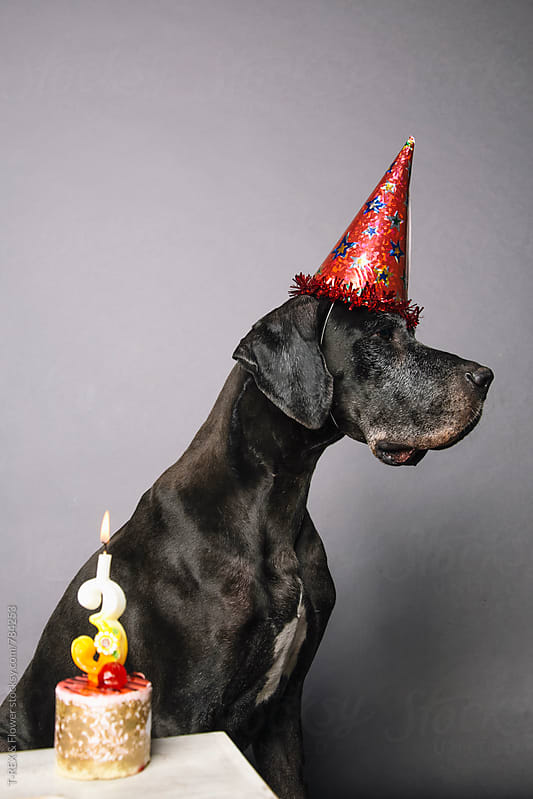 German Dane in festive red hat sitting against of grey background by Danil Nevsky for Stocksy United