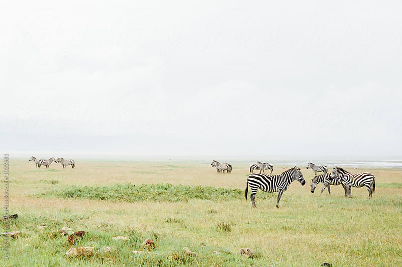 Zebras in Africa by Diane Durongpisitkul for Stocksy United