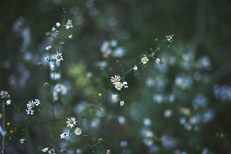 Tiny Daisies by ALICIA BOCK for Stocksy United