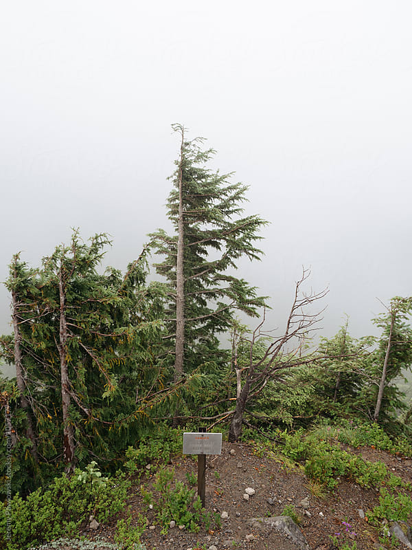 Sign warning of cliff with pine trees and fog by Jeremy Pawlowski for Stocksy United
