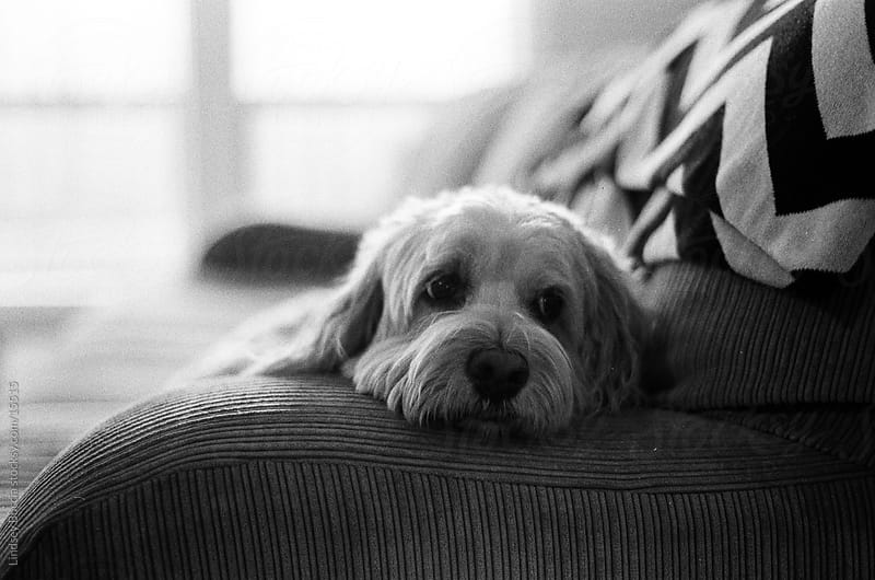 Dog on Couch by Lindsey Boccia for Stocksy United