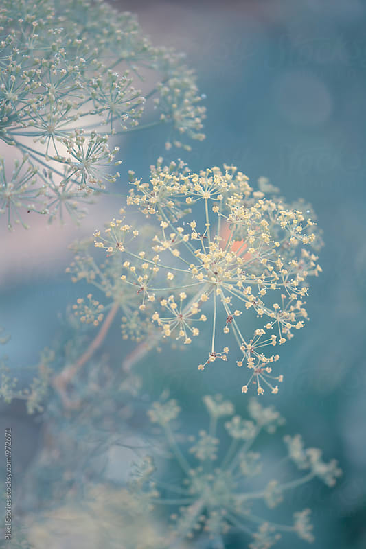 Flowering dill by Pixel Stories for Stocksy United