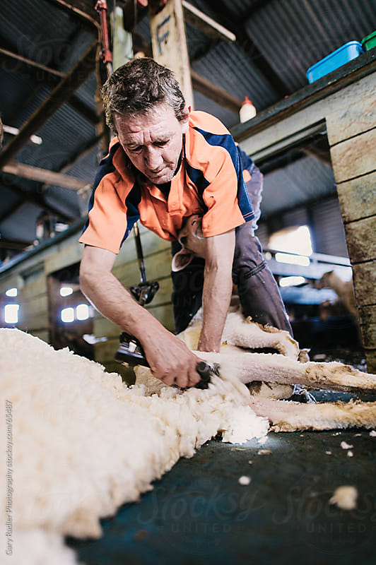 Australian Shearer at Work by Gary Radler Photography for Stocksy United