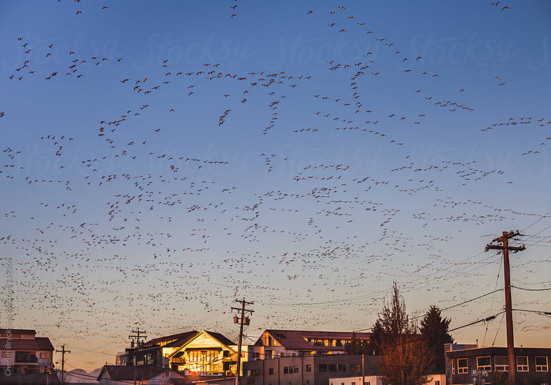 Bird migration fills sky. by Cherish Bryck for Stocksy United