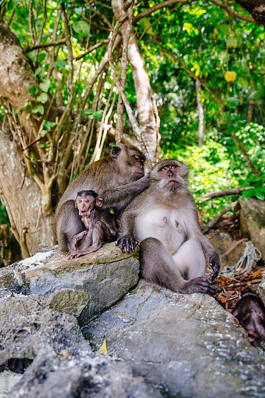 monkey family on Phi-Phi island beach by Andrey Pavlov for Stocksy United