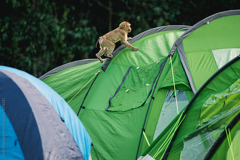 Monkey playing on tent by Chalit Saphaphak for Stocksy United