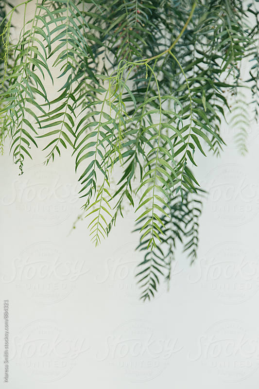 Lush green leaves hanging against a white wall by Maresa Smith for Stocksy United
