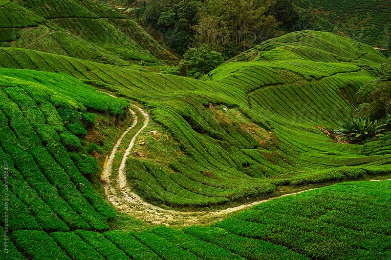 Tea plantation by Artem Zhushman for Stocksy United