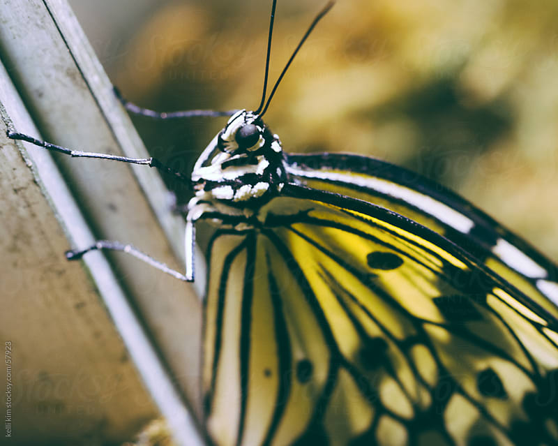 Closeup Image Of Yellow And Black Butterfly by Kelli Seeger Kim for Stocksy United