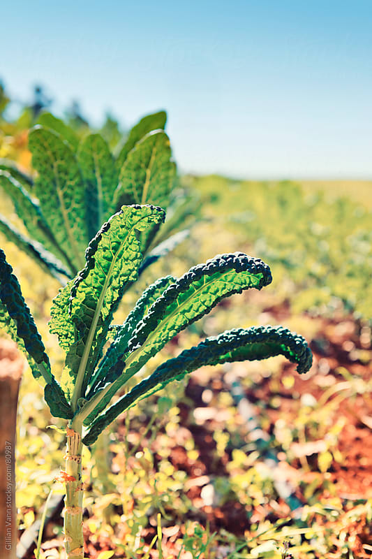 green kale growing on an organic vegetable farm by Gillian Vann for Stocksy United