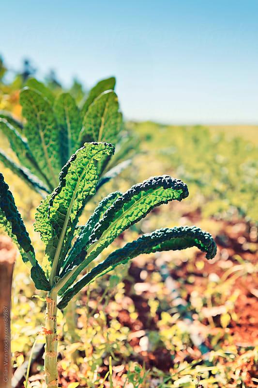 green kale growing on an organic vegetable farm by Gillian Vann for Stocksy United