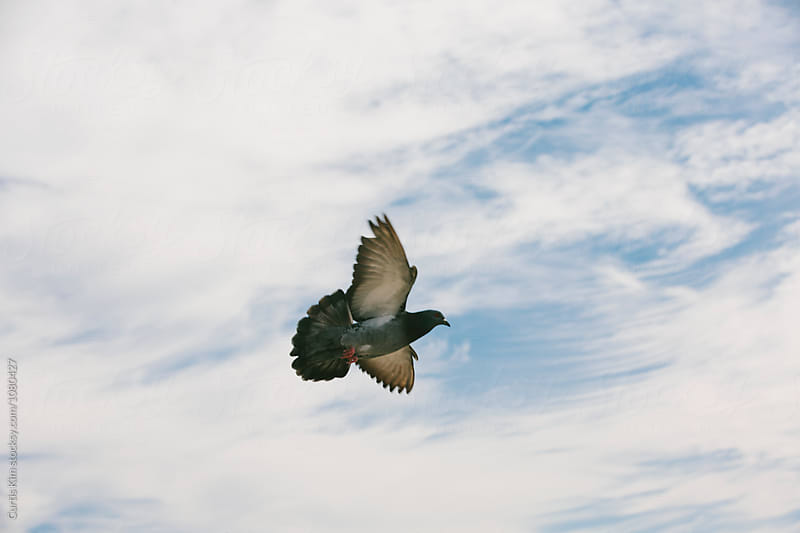 Pigeon flying in the sky by Curtis Kim for Stocksy United