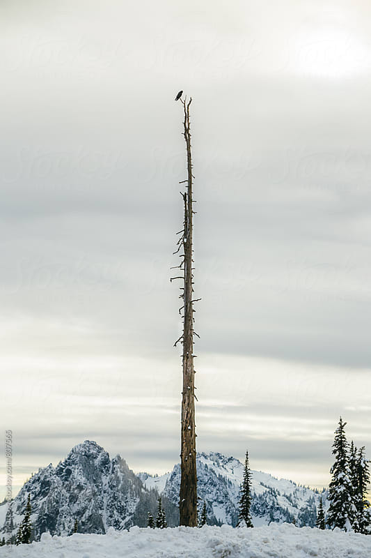 Solitary Raven Perched On Top Of Dead Pine Snag In Snowy Mountain Forest by Luke Mattson for Stocksy United