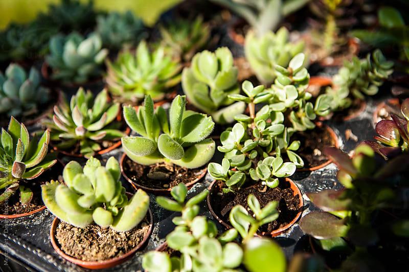 Succulents, Garden centre by Mental Art + Design for Stocksy United