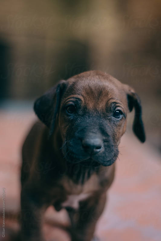 newborn ridgeback puppy by Gillian Vann for Stocksy United