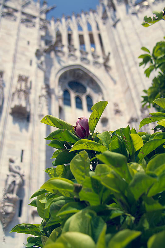 pink blossom in front of the duomo in milan by Leander Nardin for Stocksy United