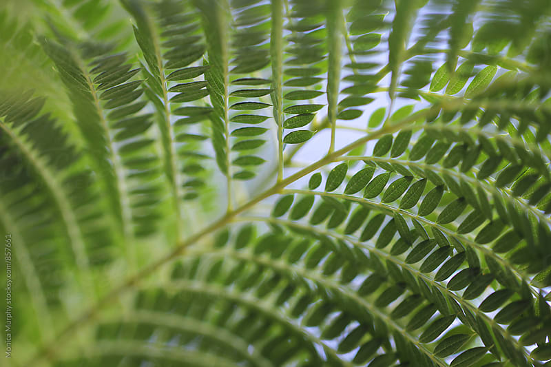 Close up of Fern plant by Monica Murphy for Stocksy United