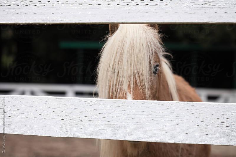 Sweet little pony behind a white fence by Carolyn Lagattuta for Stocksy United