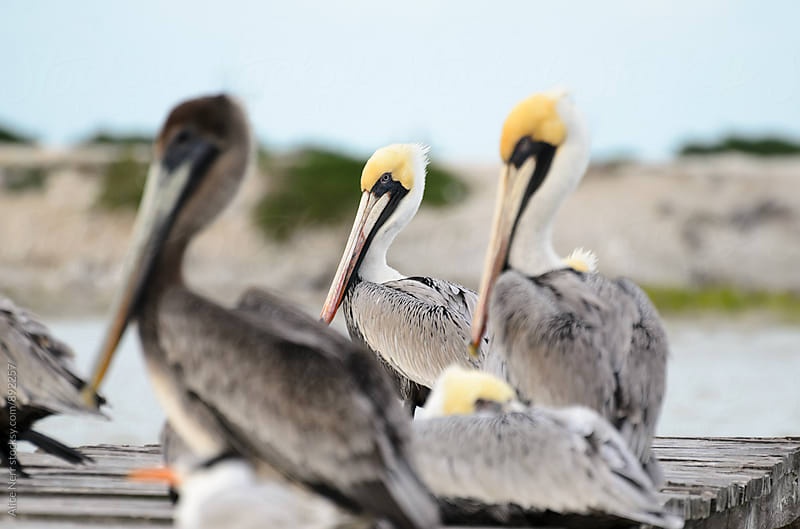 Pelicans sitting on a wooden pier by Alice Nerr for Stocksy United