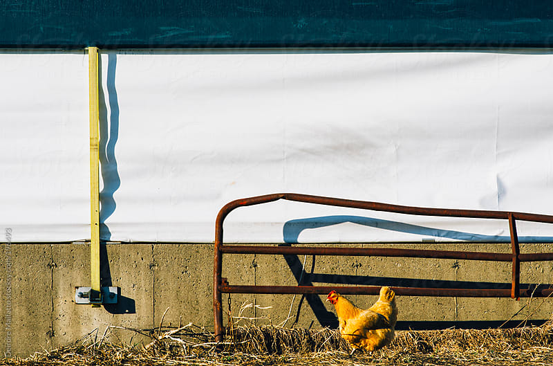 chicken walking by a wall with a fence by Deirdre Malfatto for Stocksy United