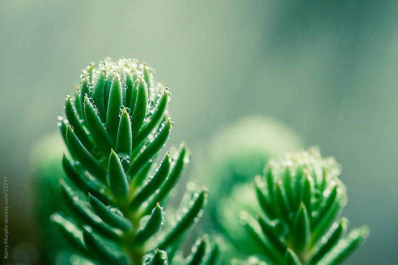 Macro of green sedum with water drops by Kerry Murphy for Stocksy United