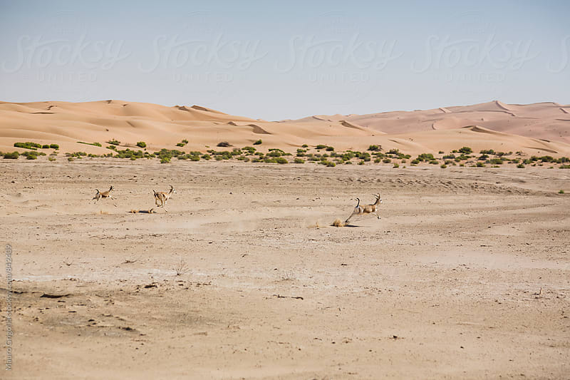 antelopes running in the Desert,  United Arab Emirates by Mauro Grigollo for Stocksy United