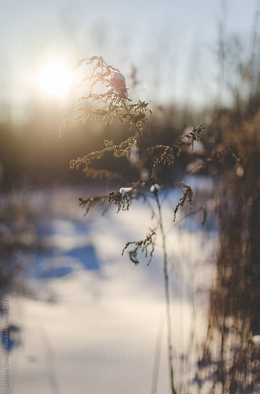 Snow covered plant on a snowy day in the sunshine by Lindsay Crandall for Stocksy United