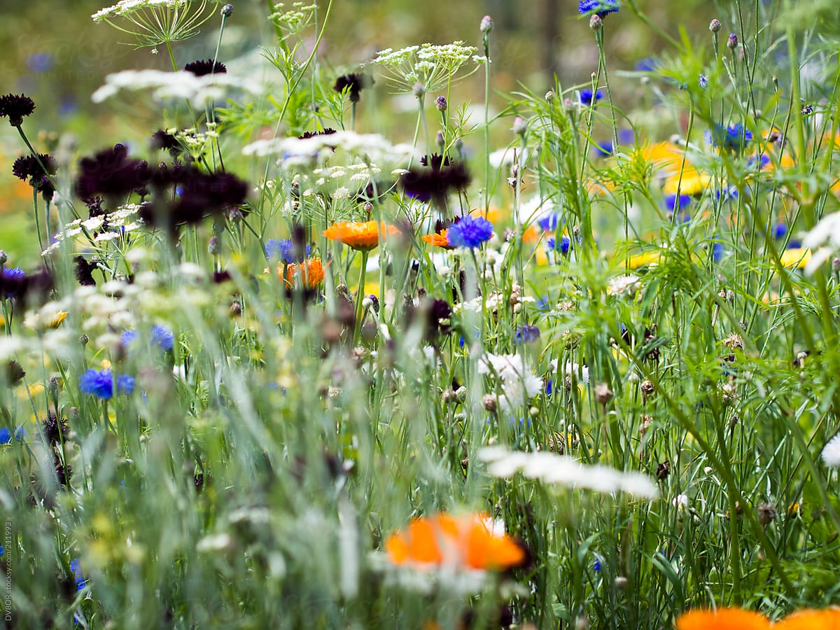 Wild Flowers In A Meadow In England In Spring Stocksy United