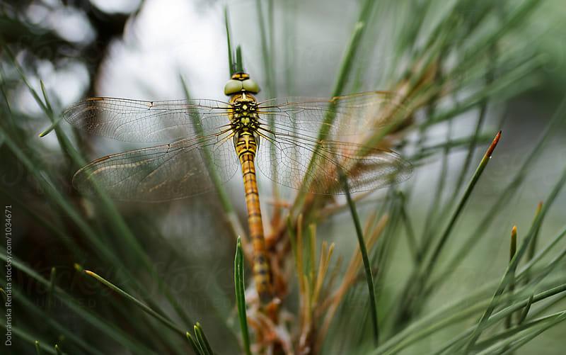 Dragonfly on a pine tree by Dobránska Renáta for Stocksy United