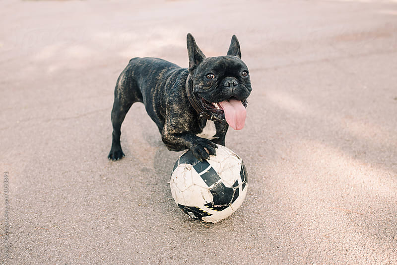 French bulldog playing with a ball by Lucas Ottone for Stocksy United