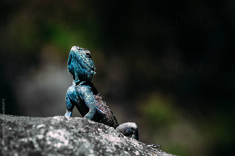 South African Southern Rock Agama Lizard by Micky Wiswedel for Stocksy United