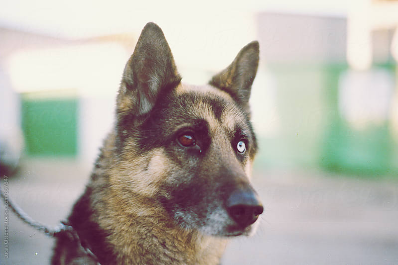 German shepherd with different-colored eyes by Lucas Ottone for Stocksy United