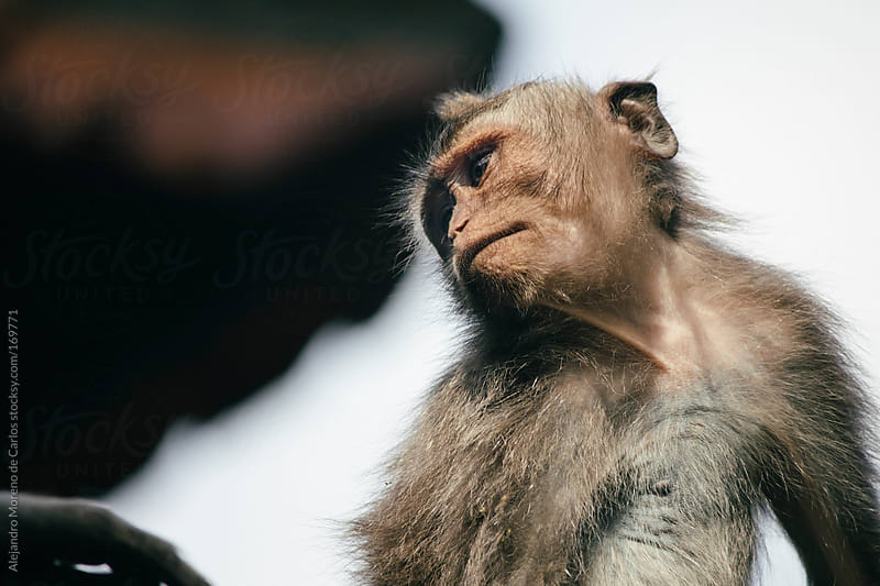 Monkey closeup in Bali, Indonesia, Asia by Alejandro Moreno de Carlos for Stocksy United