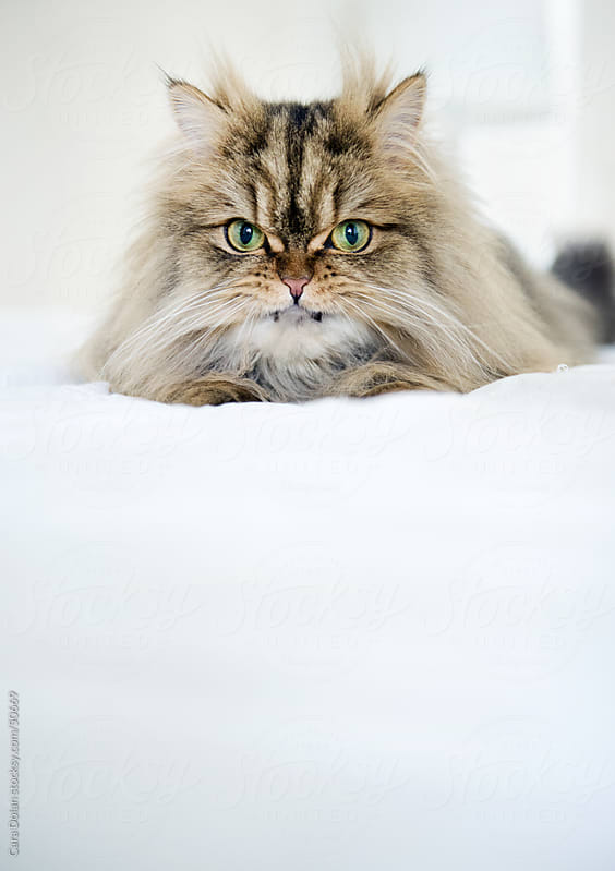Scowling Persian cat sits atop white bed  by Cara Dolan for Stocksy United