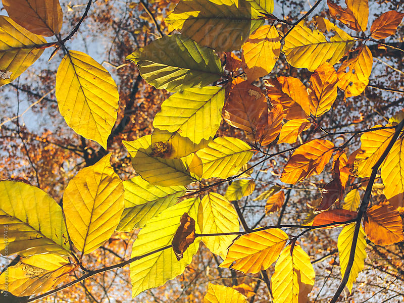 Yellow Leaves on the Tree  by Mosuno for Stocksy United