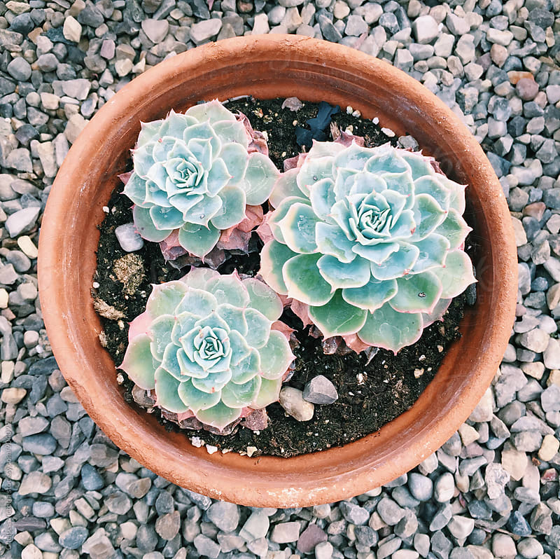 Potted succulent plants by Chelsea Victoria for Stocksy United