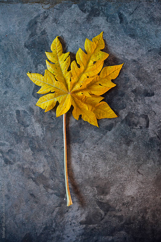 Fallen yellow papaya leaf against a concrete background. by Shikhar Bhattarai for Stocksy United