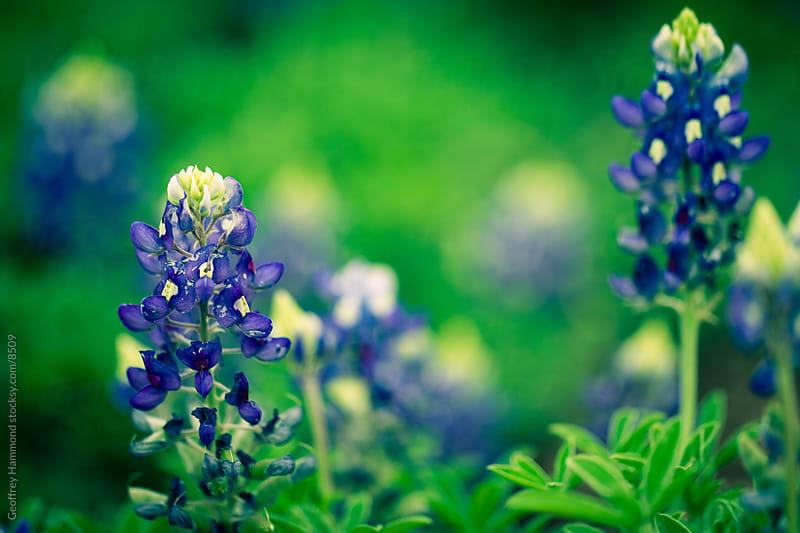 Texas Bluebonnet Spring Flowers by Geoffrey Hammond for Stocksy United