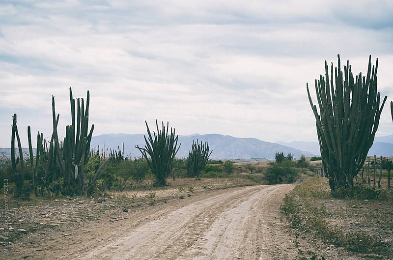 Country road and massive cactus here and there along it by Alice Nerr for Stocksy United