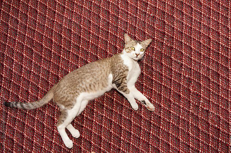 Cat on a carpet. by Shikhar Bhattarai for Stocksy United