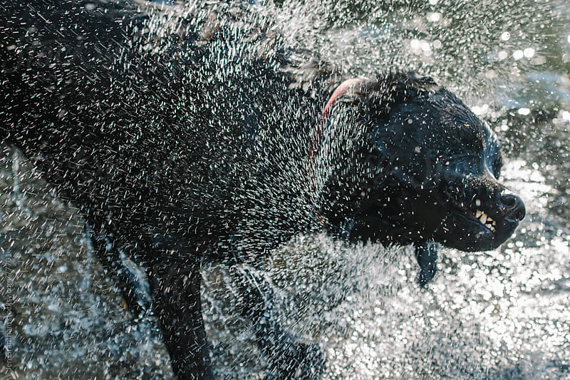 Black lab shaking dry by Jen Grantham for Stocksy United