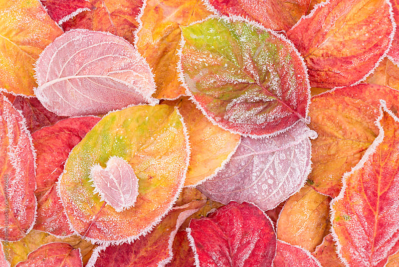 Dogwood leaves and Frost    by Mark Windom for Stocksy United