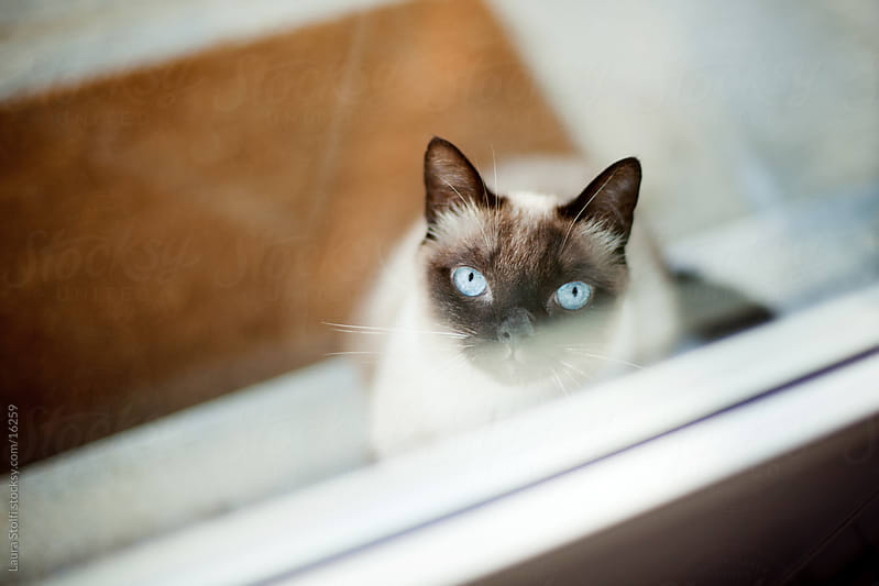 Cat looking inside through glass panel and waiting for the door to be opened by Laura Stolfi for Stocksy United