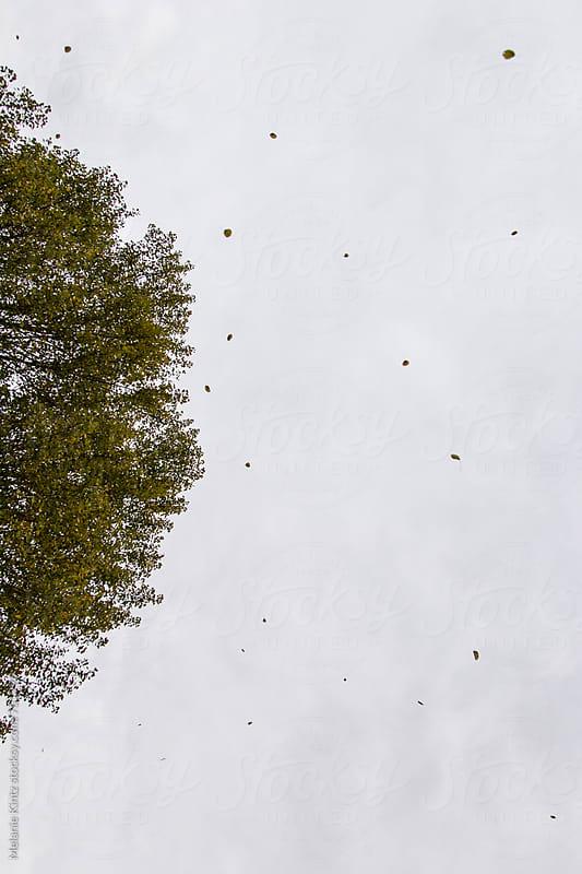 Tree, seen from below, losing its leaves by Melanie Kintz for Stocksy United