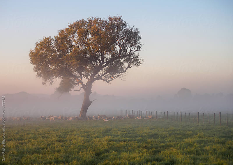 Sheep resting under a Lone Gum Tree at Dawn by Gary Radler Photography for Stocksy United