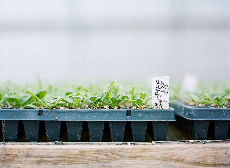 Seeds sprouting by Ali Harper for Stocksy United